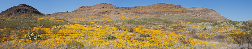 Blooming Desert Stock Photography