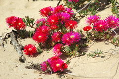 Blooming desert. Lots of beautiful pink little flowers blooming in the sand of the desert Royalty Free Stock Images