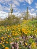 Blooming Desert. Sonoran Desert in bloom with Saguaros stock photography