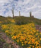 Blooming Desert. Sonoran Desert in bloom with Saguaros royalty free stock image