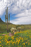 Blooming Desert. Sonoran Desert in bloom with Saguaros and beautiful sky royalty free stock images