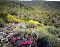 Blooming Desert Stock Image