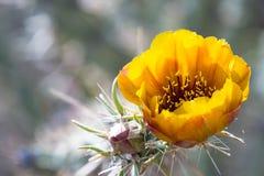 Blooming desert cactus Stock Image