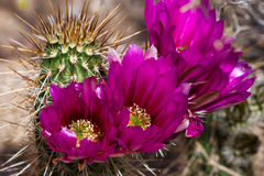 Blooming desert cactus Stock Photo