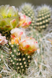 Blooming desert cactus Royalty Free Stock Photography