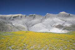 Blooming desert in Capitol Reef Stock Images