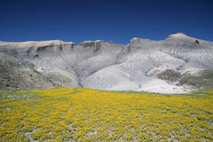 Blooming desert in Capitol Reef Stock Image