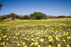Blooming desert in Namibia. Yellow blooming desert after rainfall in Damaraland, Namibia stock photography