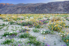 Blooming Desert. Blooming Mojave Desert near Anza Borrego Springs, California Royalty Free Stock Photo