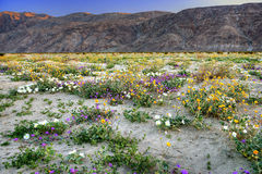 Blooming Desert. Blooming Mojave Desert near Anza Borrego Springs, California Stock Photography