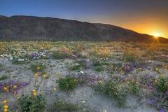 Blooming Desert. Near Anza Borrego Springs, California stock photo