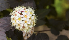 Blooming Diablo Ninebark with room for copy Royalty Free Stock Images