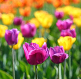 Blooming different color tulips Royalty Free Stock Photo