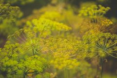 Blooming dill royalty free stock photography