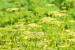 Blooming dill. In the garden Stock Images