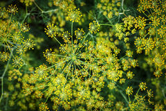 Blooming dill background Stock Photo