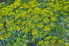 Blooming Dill Royalty Free Stock Images