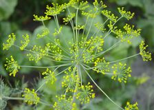 Blooming Dill Flowers stock images