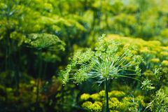 Blooming dill in the garden in the sunlight Royalty Free Stock Image