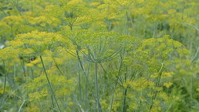 Blooming dill waving on the wind at summer stock footage