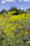 Blooming dill yellow flower in garden Royalty Free Stock Photos