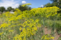 Blooming dill yellow flower in garden Royalty Free Stock Images