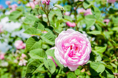 Blooming dog rose. Nature, greens, summer pink flowers Royalty Free Stock Photos