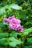 Blooming dog rose. Nature, greens, summer pink flowers Royalty Free Stock Photography