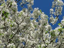 Blooming Dogwood. White Blooming Dogwood andd Sky Stock Images