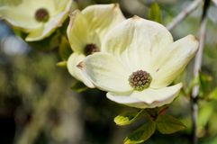 Blooming dogwood. Flowers on a twig closeup royalty free stock image