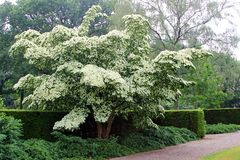 Blooming Dogwood Milky Way tree. White flowers of blooming Dogwood tree, also called Cornus Kausa Milky Way Royalty Free Stock Photography