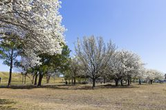 Blooming Dogwood Trees At Mount Trashmore Park stock photos