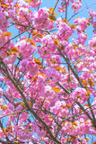 Blooming double cherry blossom and blue sky Stock Photography