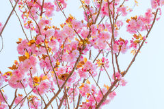 Blooming double cherry blossom Stock Photo