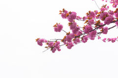 Blooming double cherry blossom branches Stock Photography