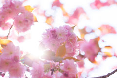 Blooming double cherry blossom branches and sun shine Stock Photography