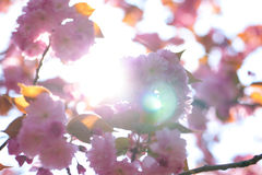 Blooming double cherry blossom branches and sun shine Royalty Free Stock Photos
