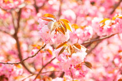 Blooming double cherry blossom Royalty Free Stock Photos