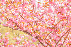 Blooming double cherry blossom tree Royalty Free Stock Photography