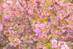Blooming double cherry blossom tree Royalty Free Stock Photos