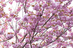 Blooming double cherry blossom tree Stock Images