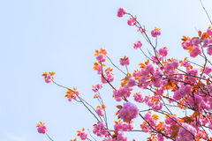 Blooming double cherry blossom tree and blue sky Royalty Free Stock Images