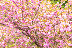 Blooming double cherry blossom tree and white sky Royalty Free Stock Photo