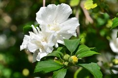 Blooming double-flowered white Hibiscus syriacus