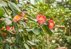Double red Camellia. Blooming double red Camellia in a greenhouse royalty free stock images