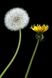 Blooming and dried dandelions. Two dandelions - blooming and dried, isolated on black Stock Images