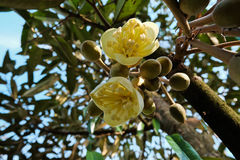 Blooming durian flower. Blossoming durian flower from bottom view Royalty Free Stock Photography