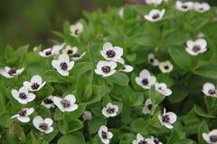 Blooming dwarf cornel Royalty Free Stock Photo
