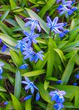 Blooming in early spring blue-blue flowers of Siberian woodland stock images