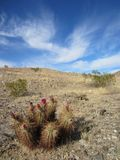 Blooming Echinocerus Cactus Royalty Free Stock Images